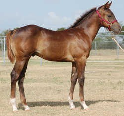 Kathy Trena Two Red Roan Colt by Trippin To Fame - Own son of Dash Ta Fame