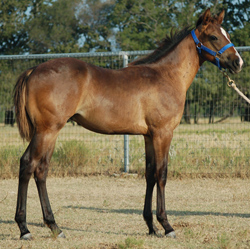2014 Bay Roan Colt For Sale by Frenchmans Fabulous and out of Diamonds Driftwood