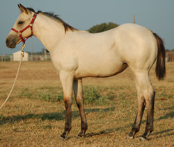 2014 Buckskin Filly for sale by Frenchmans Fabulous and out of Kittys Dash