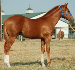 2014 SORREL COLT for sale by Frenchmans Fabulous and out of Miss Orphan Bear