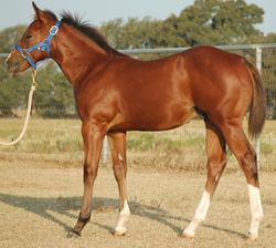 2014 Bay Colt Embryo #1 For Sale out of Mistys First Success by Frenchmans Fabulous