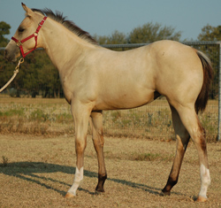 2014 Buckskin Filly by Frenchmans Fabulous and out of Mistys First Success Embryo