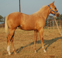2014 Palomino Filly for Sale By Frenchmans Fabulous out of Some Dash of Class
