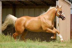 Nichols Quarter Horses Foundation Bred Horses Including Driftwood